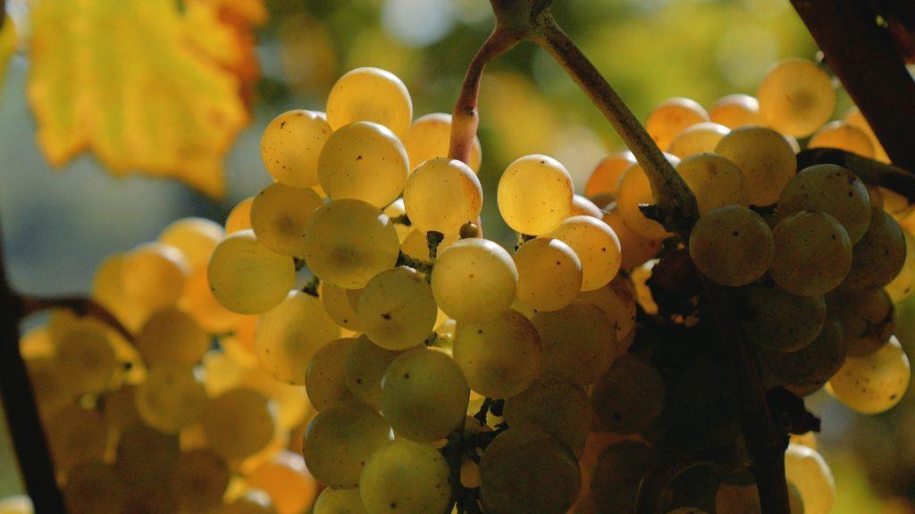 Białe winogrona Wieliczka