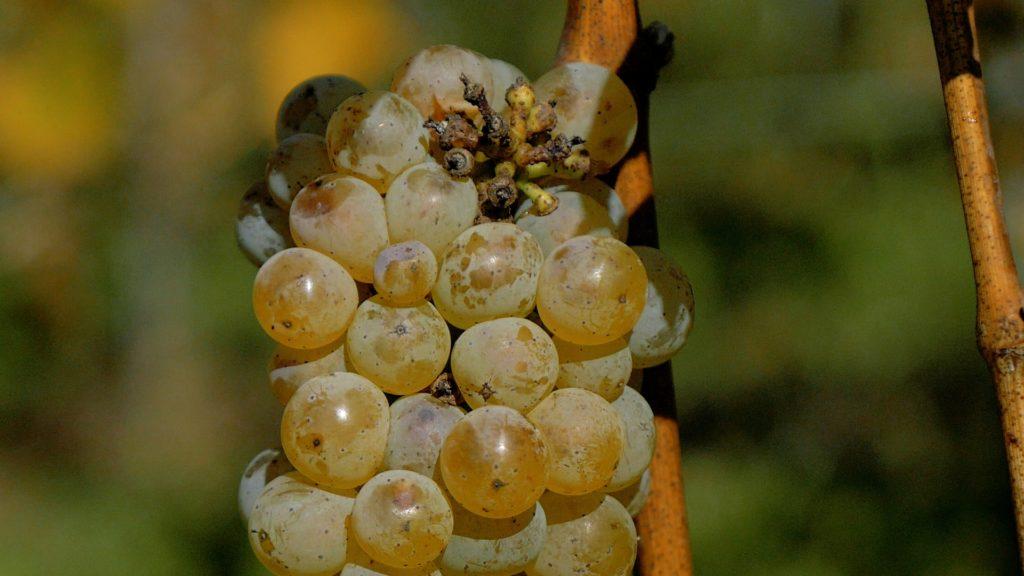 białe wino Wieliczka
