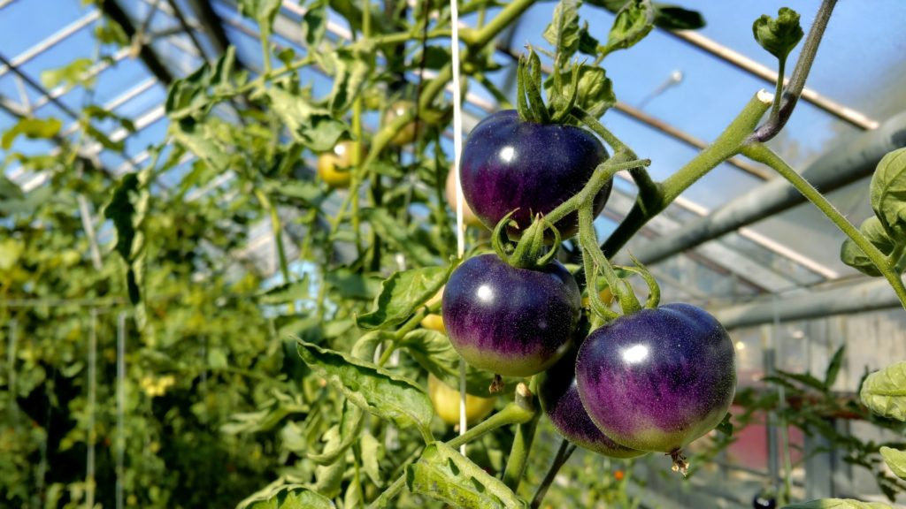 fioletowe pomidory