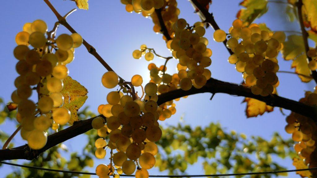 słońce i winogrona